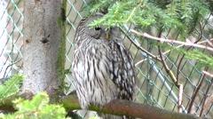 4K footage of an Ural owl (Strix uralensis) Stock Footage