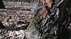 Getting birch sap from birch. - stock footage