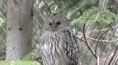 4K footage of an Ural owl (Strix uralensis) Stock Footage