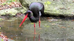 4K footage of a Black stork (Ciconia nigra) Stock Footage