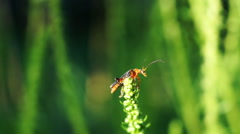 Bug With Long Antennae And The Flower Of Spinach Stock Footage