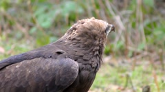 4K footage of a Lesser spotted eagle Stock Footage