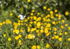 Butterfly on Buttercup Flower Stock Photos