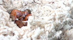 Squirrels sleep in the nest Stock Footage