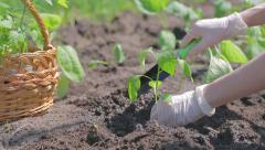 Planting pepper seedlings Stock Footage