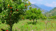 Winter change, Spring coming, orange trees over snowy mountain background Stock Footage