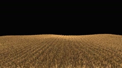4k wheat field ready to be harvested (seamless loop, isolated on black) - stock footage