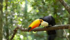 Exotic Toucan Bird Taking Flight in Natural Setting Stock Footage