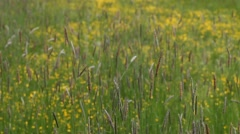 Beautiful blooming yellow fields with spikelets HD Stock Footage