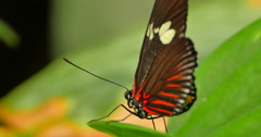 4K Macro Butterfly, Red and Black and White Insect Stock Footage