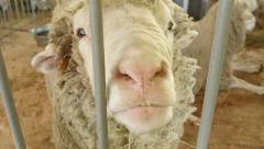 4k, beautiful sheep in the barn 5 Stock Footage
