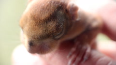 Little squirrel at the age of two weeks 5 Stock Footage