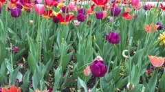 Colored Tulips in Chicago city, Illinois, USA Stock Footage