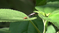Wasp With Spider Prey Stock Footage