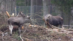 4K footage of two Eurasian mooses or elks (Alces alces) Stock Footage