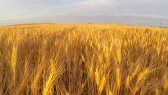 Wheat field at sunset aerial - stock footage