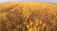 Wheat field at sunset aerial Stock Footage