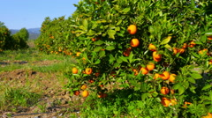 Orange fruit at branch of tree, spring season, sunny day Stock Footage