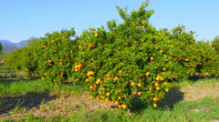 orange fruit at branch of tree, spring season, sunny day - stock footage