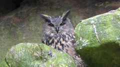 4K footage of an Eurasian eagle-owl (Bubo bubo) Stock Footage