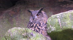 4K footage of an Eurasian eagle-owl (Bubo bubo) Stock Footage