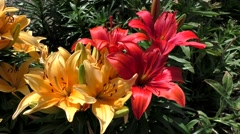 Springtime flower Lily, color variety blooming Stock Footage