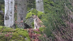 4K footage of an Eurasian Lynx Sitting (Lynx Lynx) Stock Footage