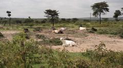 Goats and sheep livestock resting on grassland, Kenya, long shot Stock Footage