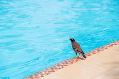 Indian Myna bird on the swimming pool Stock Photos