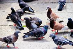 A bunch of pigeons standing around Stock Photos