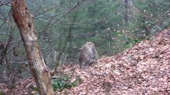 4K footage of an Eurasian Lynx (Lynx Lynx) Stock Footage