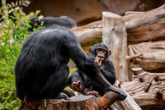 Black Chimpanzee Mammal Ape Stock Photos