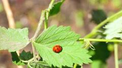 Ladybug on the raspberry leaf Stock Footage
