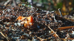 Ants Running Around the Anthill 5 Stock Footage