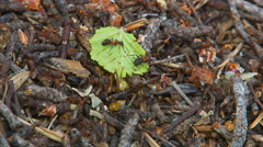 Ants Running Around the Anthill 2 - stock footage