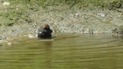 Male Common / Eurasian Backbird bathing at the edge of a river Stock Footage