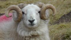 Close-up of a ram looking straight into the camera Stock Footage