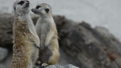 Meerkat or suricate, is small carnivoran belonging to mongoose family  Stock Footage