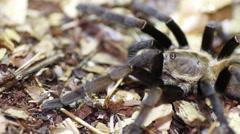Thailand Golden Fringed tarantula (Ornithoctonus aureotibialis) - stock footage