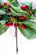 Branch of cherry Stock Photos