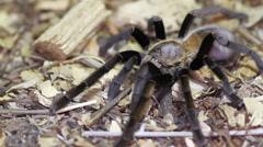 Thailand Golden Fringed tarantula (Ornithoctonus aureotibialis) Stock Footage