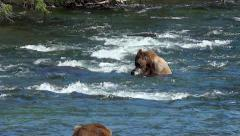 Blonde Brown Bear Catches Fish in Front of Oncoming Boar & Skeedaddles Stock Footage
