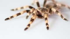 Brazilian Black And White Tarantula Nhandu coloratovillosus on white background Stock Footage