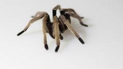 Thailand Golden Fringed tarantula male adult on white background Stock Footage