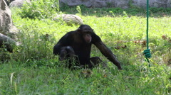 Stock Video Footage of Chimpanzee playing on green grass