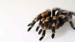 Mexican Redknee Tarantula (Brachypelma smithi) on white background Stock Footage