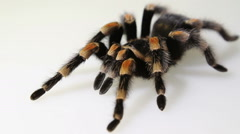 Brachypelma smithi on white background Stock Footage
