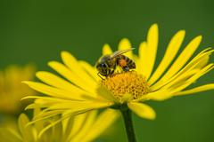 Honey bee pollinating yellow daisy flowers in the spring Stock Photos