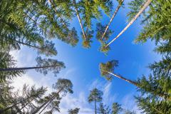 Tall pine tree tops against blue sky and white clouds Stock Photos