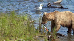 Blonde Colored Brown Bear Eating a Salmon is Intimidated by Large Brown Bear Stock Footage